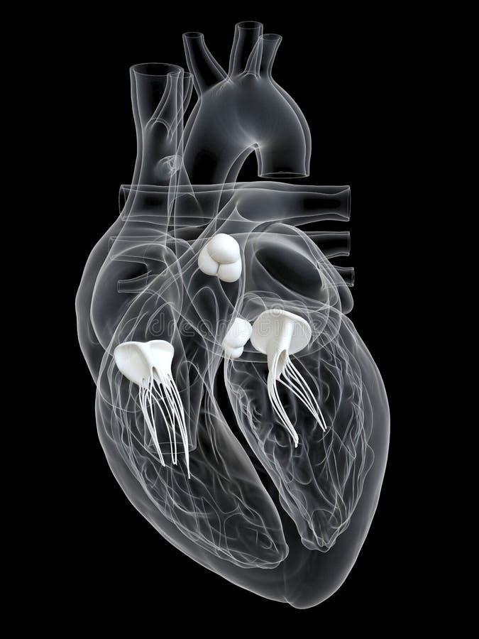 Le valvole cardiache illustrazione vettoriale