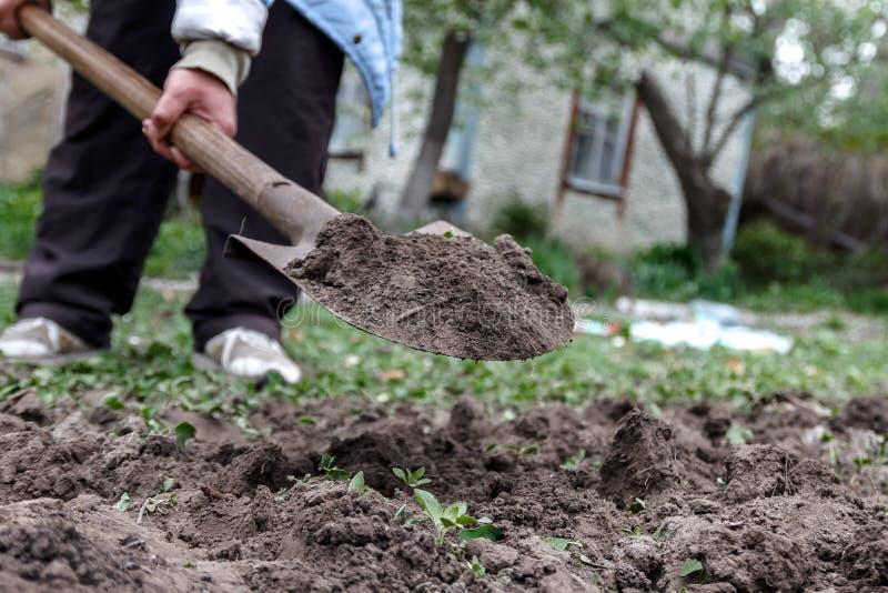 Le vangate della mano di una donna sporcano e sporcano con una pala Primo piano, Conce fotografia stock