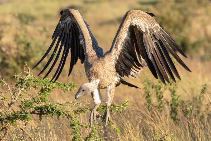Le vautour à dos blanc africain plie des ailes pour débarquer photos libres de droits