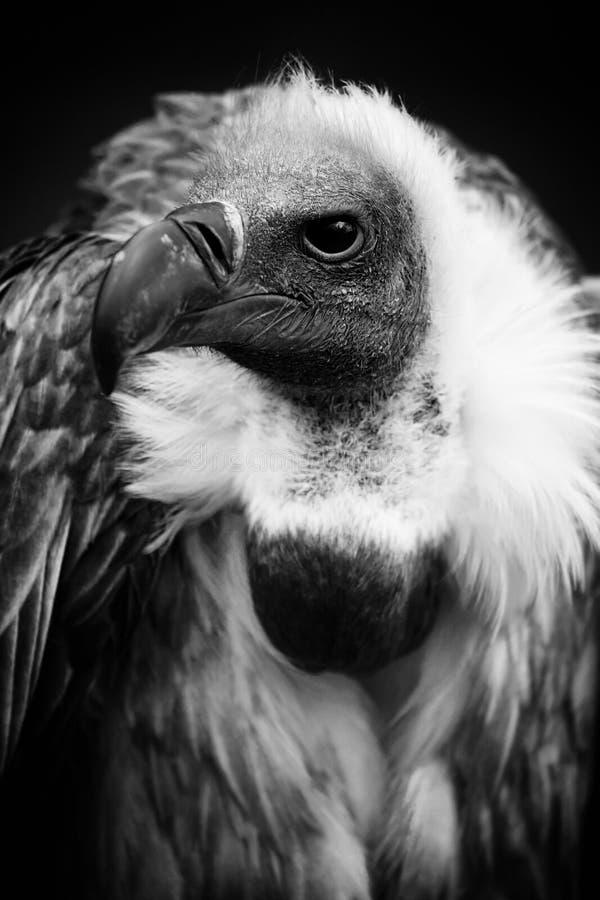 Le vautour photo libre de droits