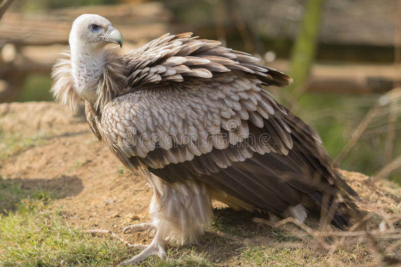 Le vautour de griffon Gyps le fulvus photos libres de droits