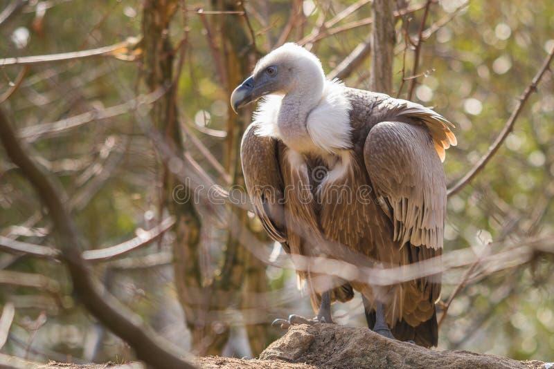 Le vautour de griffon Gyps le fulvus photos stock