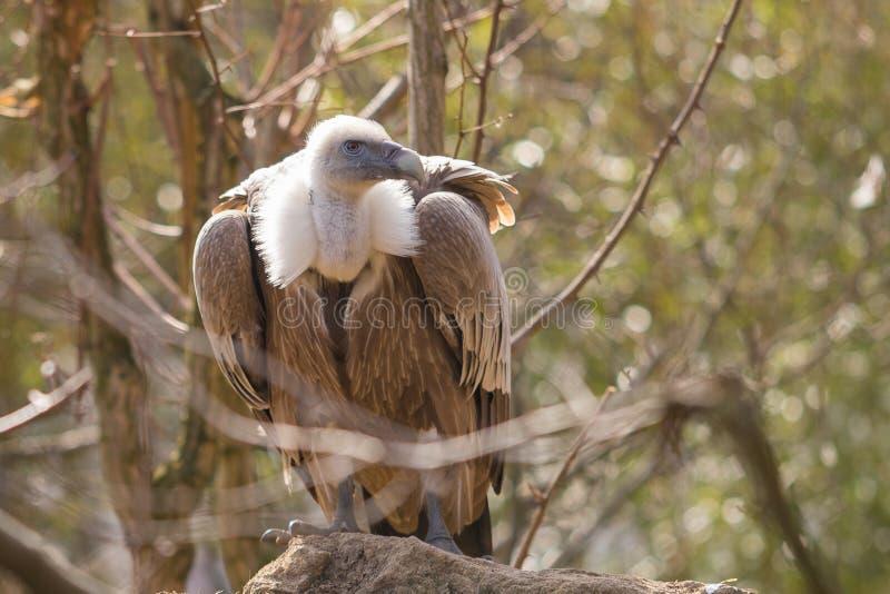 Le vautour de griffon Gyps le fulvus photo libre de droits