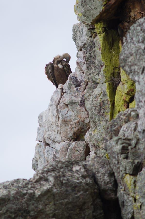 Le vautour de griffon Gyps lisser de fulvus photographie stock