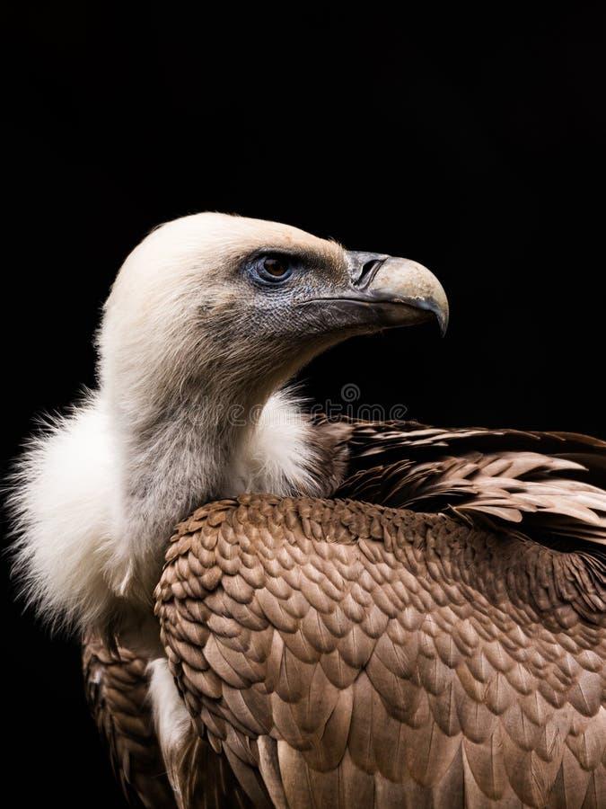 Le vautour de l'Himalaya ou vautour de griffon de l'Himalaya photos stock