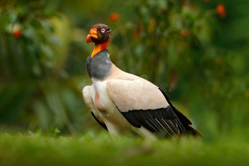 Le vautour de roi, papa de Sarcoramphus, grand oiseau a trouvé central et en Amérique du Sud Oiseau de vol, forêt à l'arrière-pla photos libres de droits