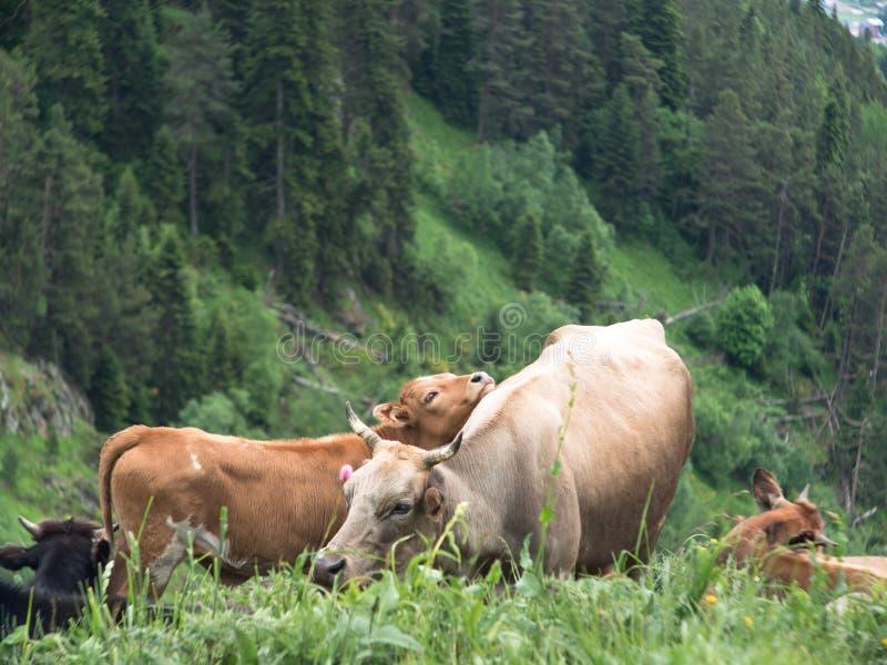 Le veau a étendu sa tête sur une vache image stock