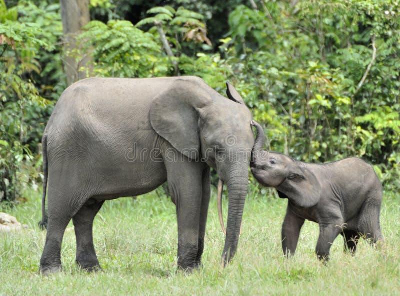 Le veau d'éléphant est alimenté avec du lait d'une vache à éléphant Forest Elephant africain, cyclotis d'africana de Loxodonta Au photo stock