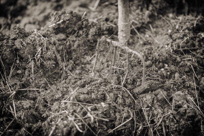 Le vecchie forche d'acciaio in un mucchio di concime, fertilizzano i campi Effetto d'annata fotografia stock libera da diritti
