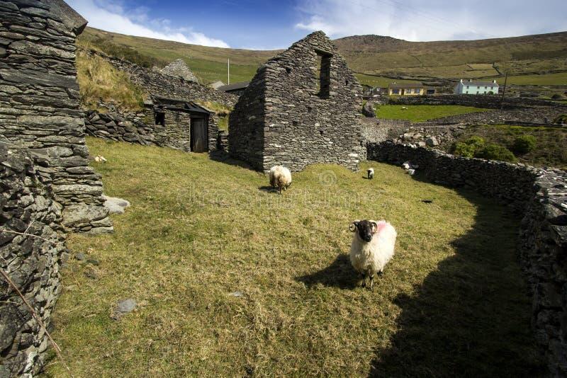 Le vecchie pecore pascolano, l'Irlanda fotografia stock libera da diritti