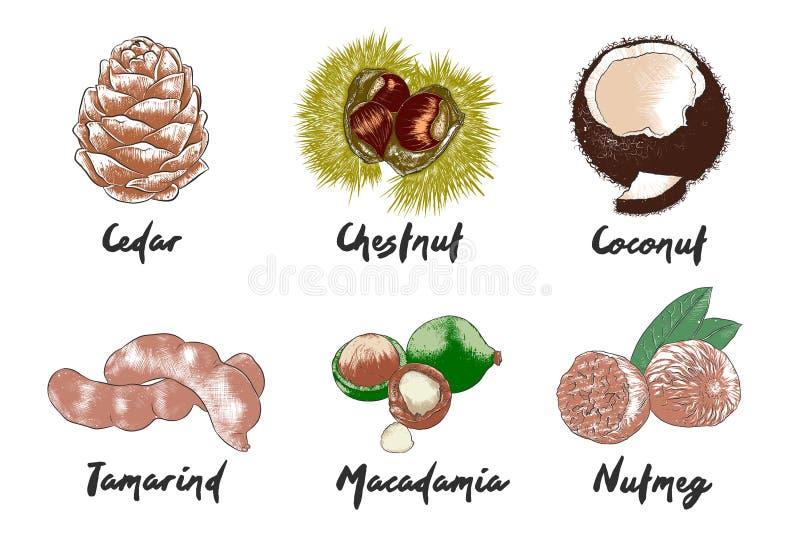 Le vecteur a gravé la collection exotique organique de fruits et d'écrous pour des affiches, décoration, emballage, menu, logo illustration stock