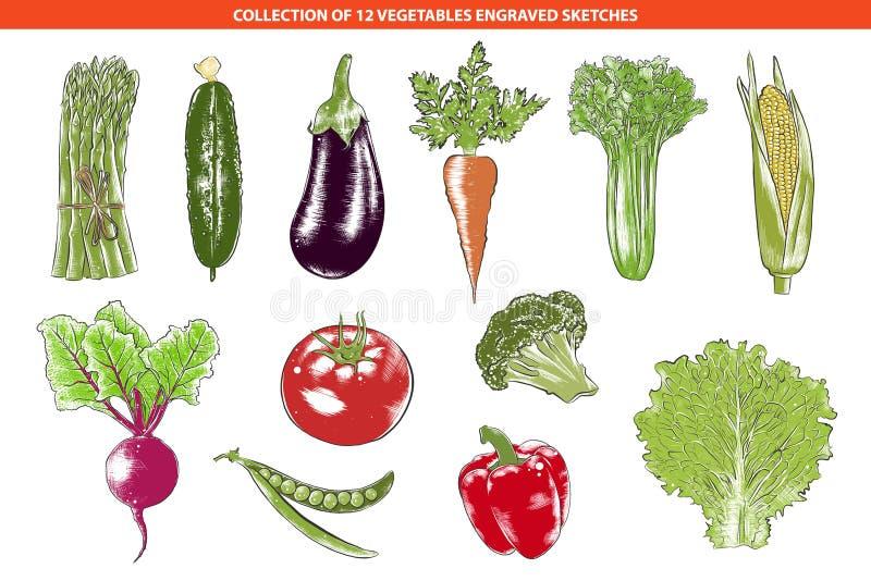 Le vecteur a gravé la collection organique de légumes de style pour des affiches, décoration, emballage Croquis colorés tirés par illustration libre de droits