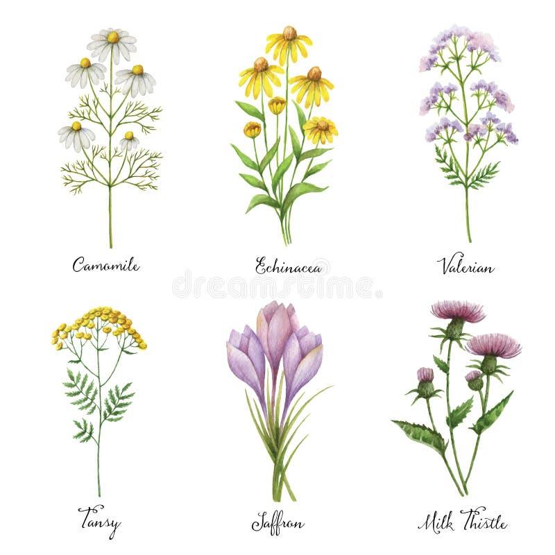 Le vecteur peint à la main d'aquarelle a placé avec les herbes et les plantes médicales illustration de vecteur