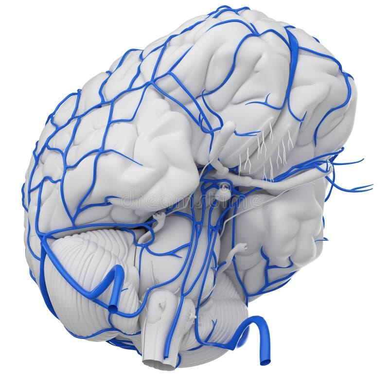 Le vene del cervello illustrazione di stock