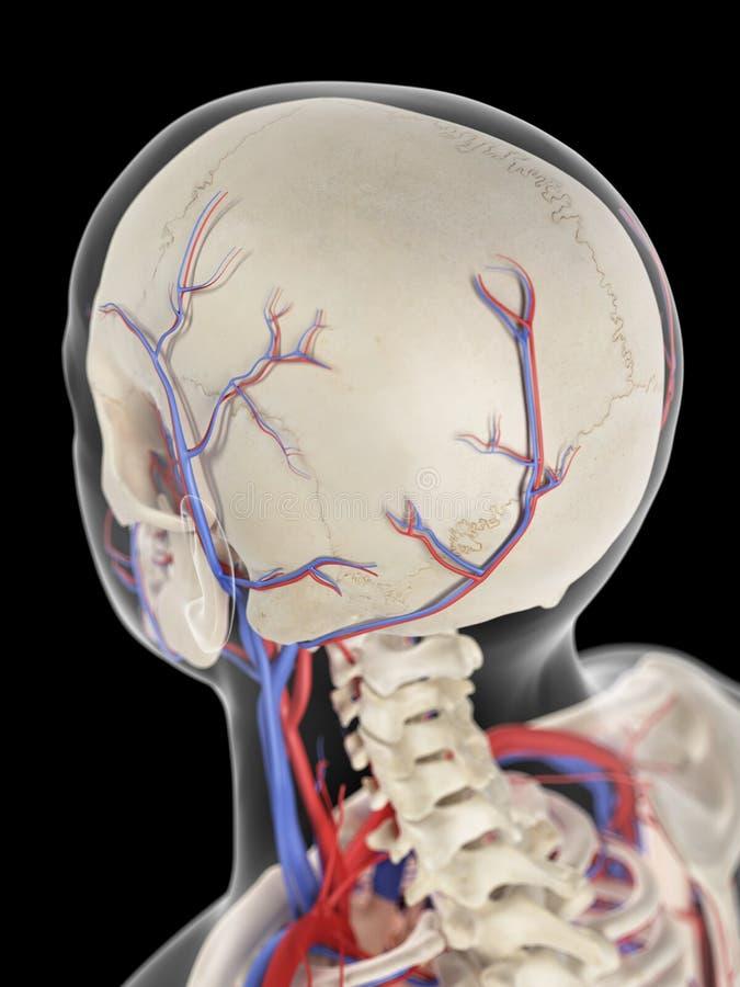 Le vene e le arterie della testa illustrazione di stock
