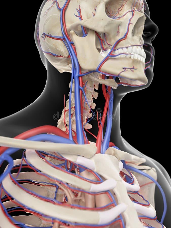 Le vene e le arterie della testa royalty illustrazione gratis