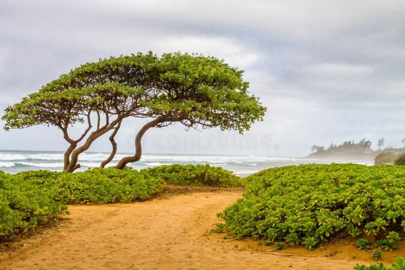 Le vent a balayé l'arbre et les usines moulues vertes sur la plage dans Kuaui images stock