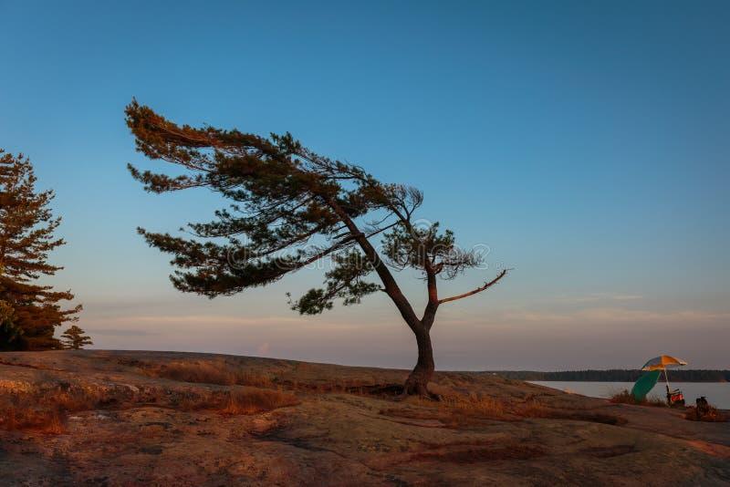 Le vent a balayé le pin de la baie géorgienne images libres de droits