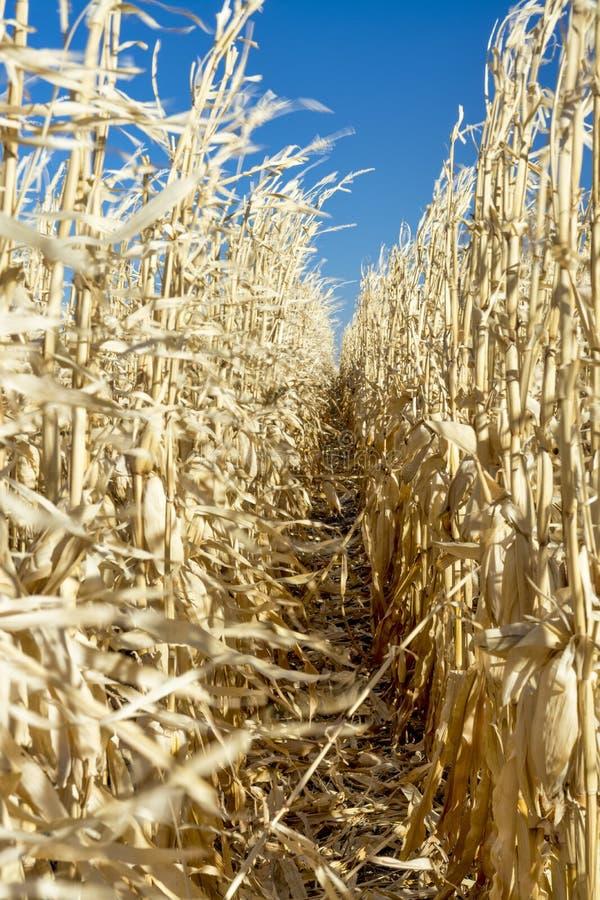Le vent souffle par des tiges de maïs en nature images stock
