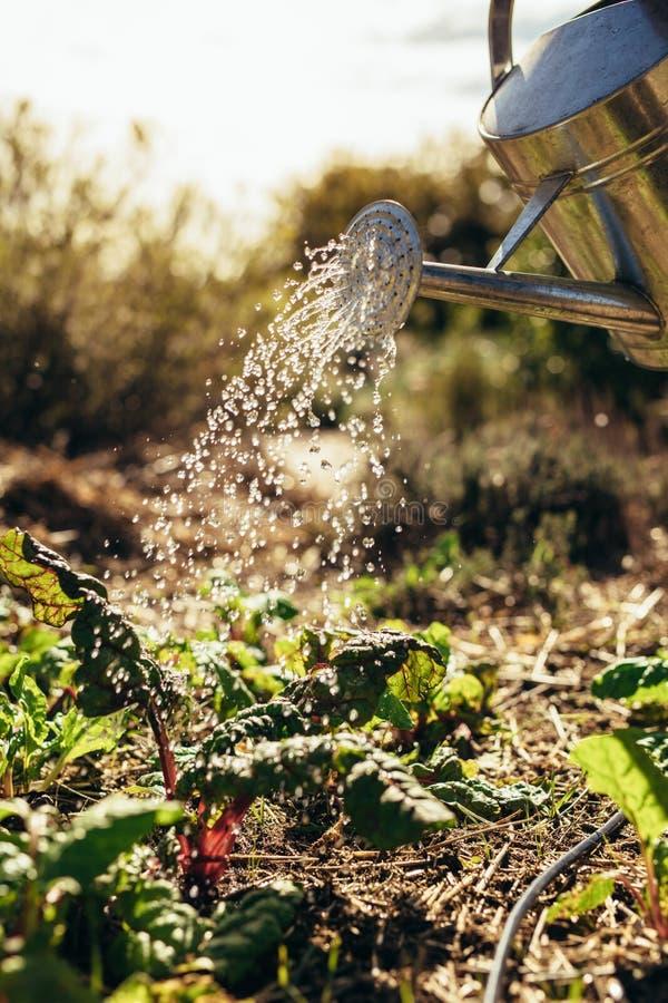 Le verdure d'innaffiatura con la spruzzatura possono sull'azienda agricola fotografia stock libera da diritti