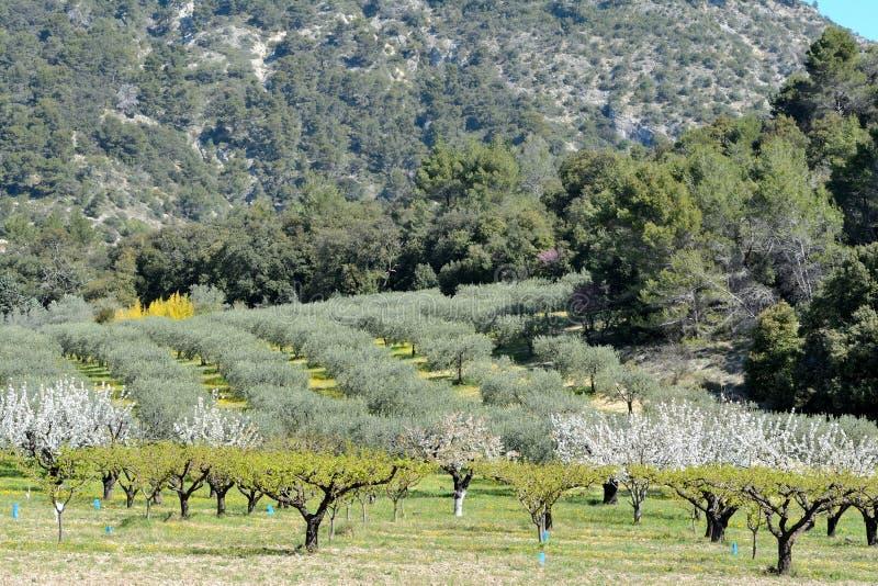 Le verger de floraison ensoleillé dans le premier plan, les oliviers mettent en place image stock