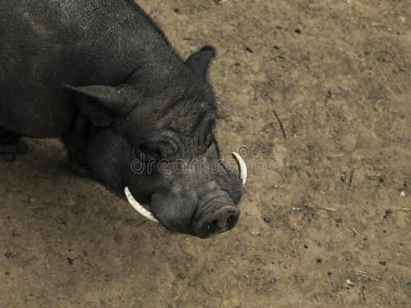 Le verrat ou vittatus du scrofa pot-gonflé de Sus est un porc qui a ses origines au Vietnam et en Chine images libres de droits