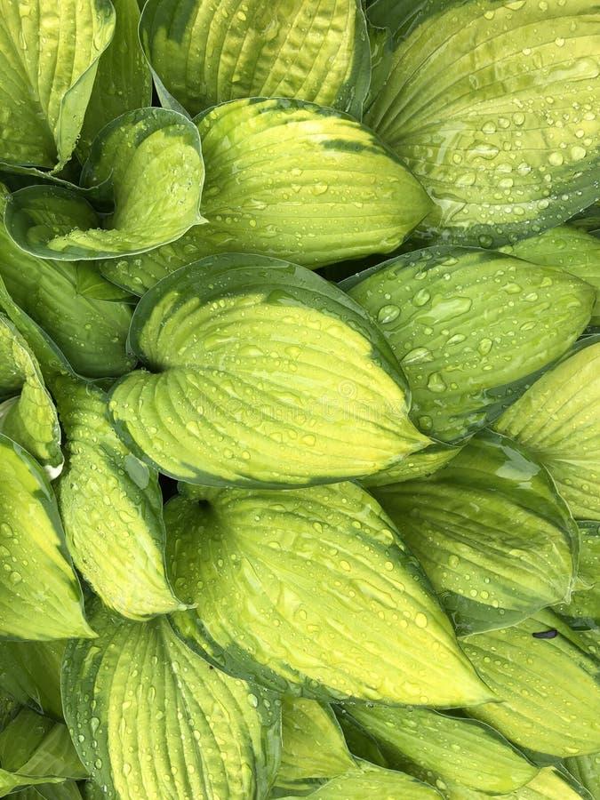 Le vert accueille les feuilles à l'arrière-plan de nature, grandes feuilles d'usine avec des gouttes de l'eau de pluie dans l'ima illustration stock
