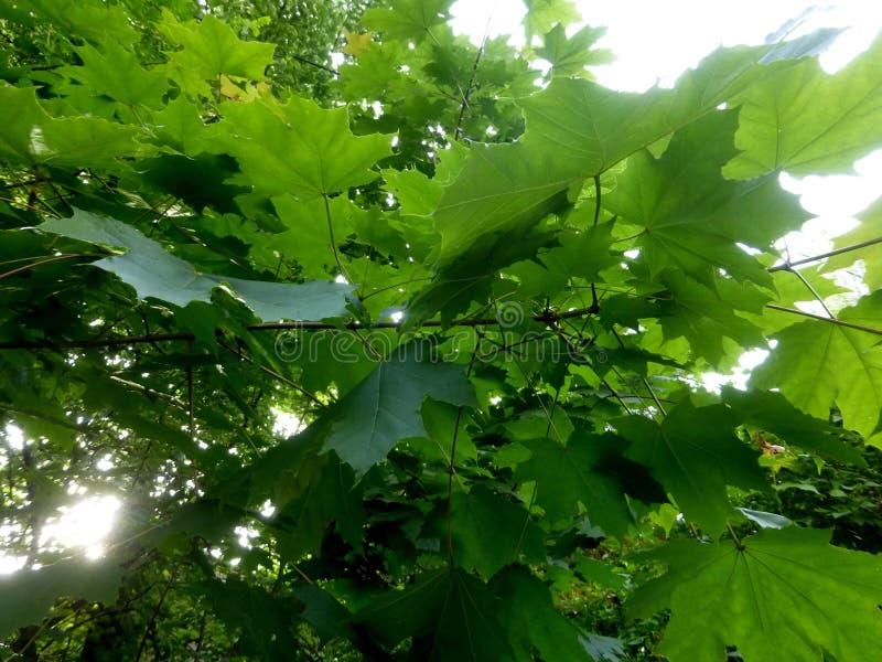 Le vert d'érable laisse le beau fond photo libre de droits