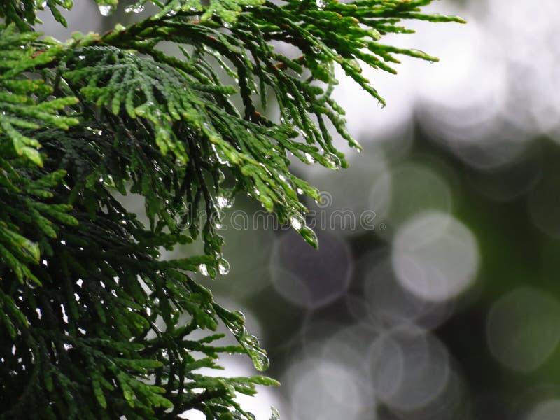 Le vert d'arbre de Cupressus laisse la vue de plan rapproché couverte de baisses de pluie Effet de Bokeh image stock