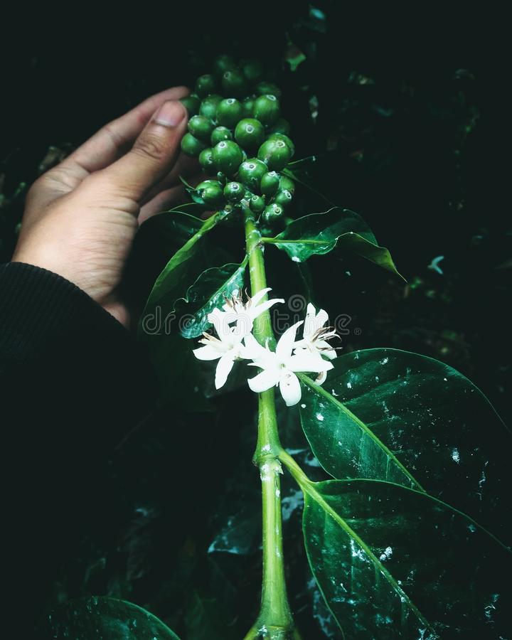 Le vert de café élèvent des arbres d'expresso de l'Indonésie de haricot image libre de droits