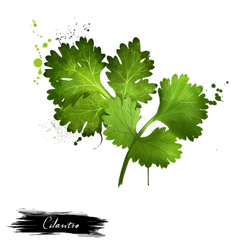 Le vert de Cilantro laisse le plan rapproché d'isolement sur un blanc illustration de vecteur