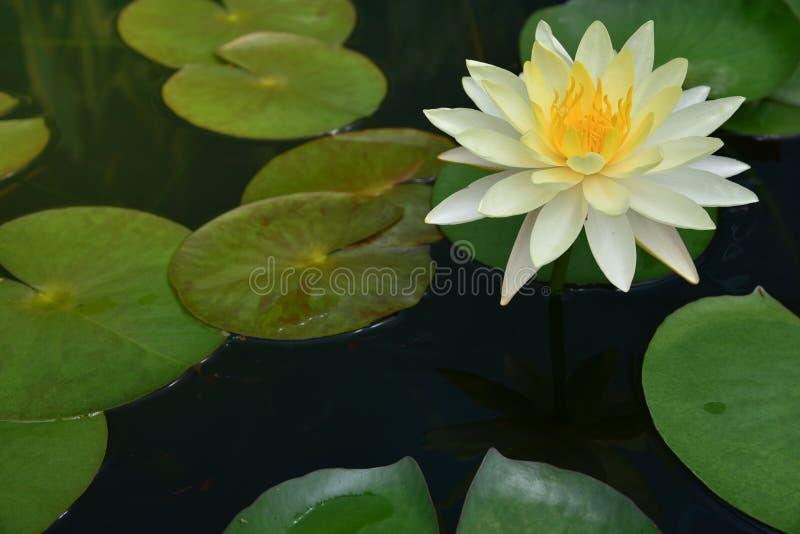 Le vert de feuille de lotus image stock