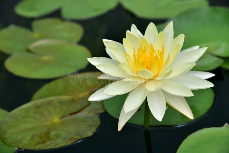 Le vert de feuille de lotus photos stock