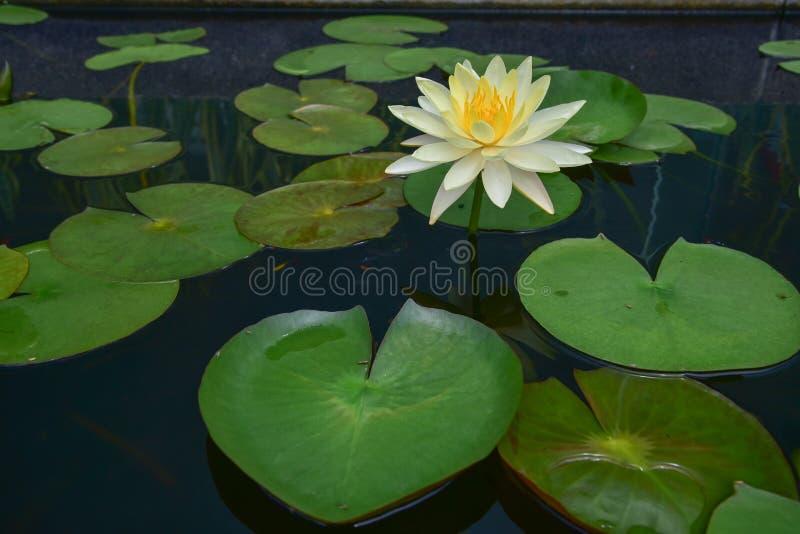 Le vert de feuille de lotus photo stock