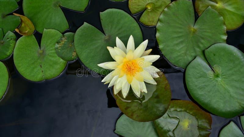 Le vert de feuille de lotus photographie stock libre de droits