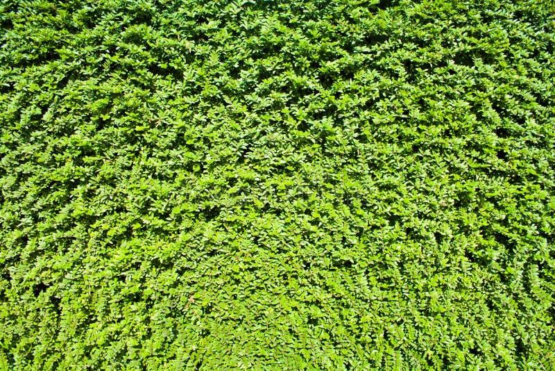 Le vert de jardin laisse le mur ou la barrière d'arbre pour le fond photographie stock