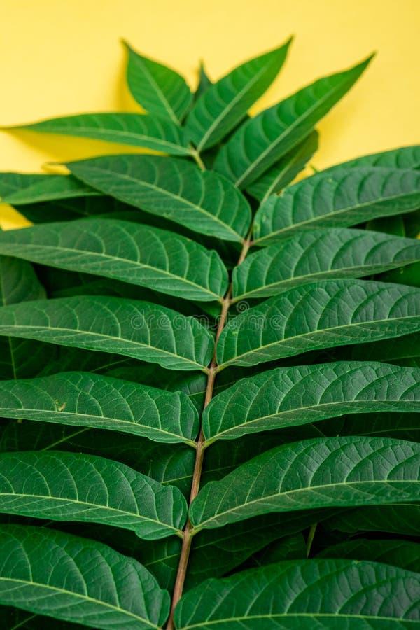 Le vert de la jungle tropicale laisse des veines macro sur fond jaune photo libre de droits