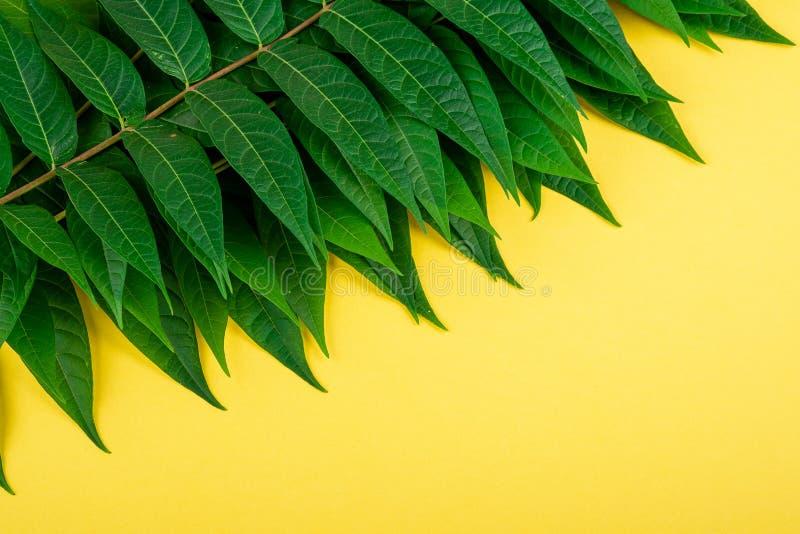 Le vert de la jungle tropicale laisse des veines macro sur fond jaune photos stock