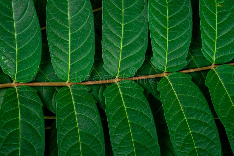 Le vert de la jungle tropicale laisse les veines en arrière-plan macro images libres de droits