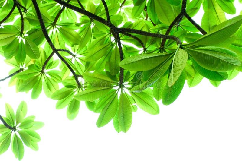 Le vert laisse le cadre sur le fond blanc, feuille sur l'arbre image stock