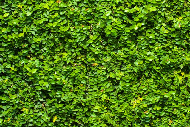Le vert laisse le fond ou mure naturellement l'idéal de texture pour l'usage dans la conception assez images libres de droits
