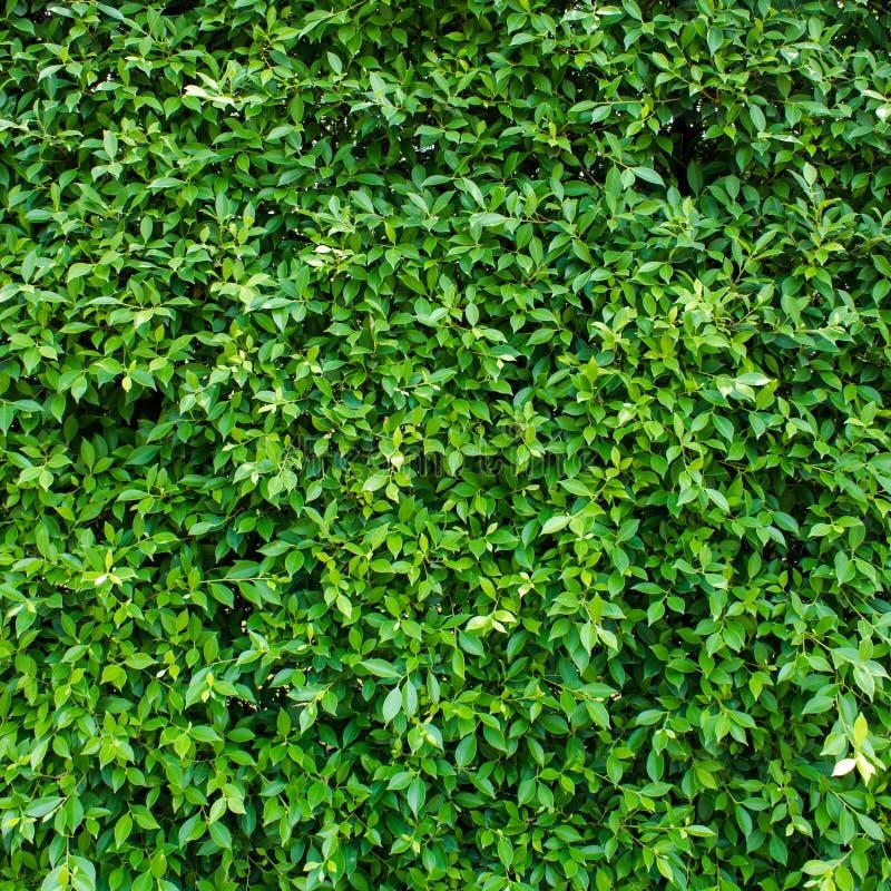 Le vert laisse le fond ou mure naturellement l'idéal de texture pour l'usage dans la conception assez photographie stock libre de droits