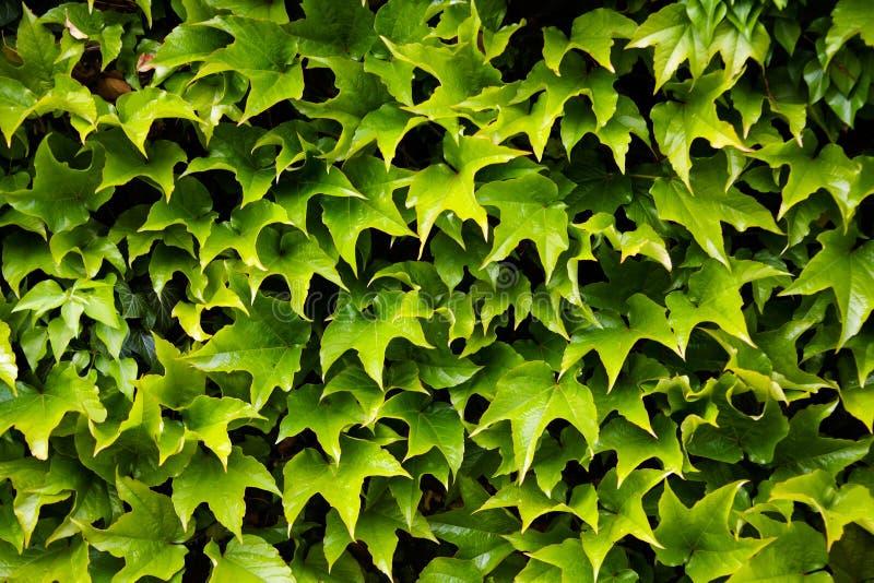 Le vert laisse la texture photo libre de droits