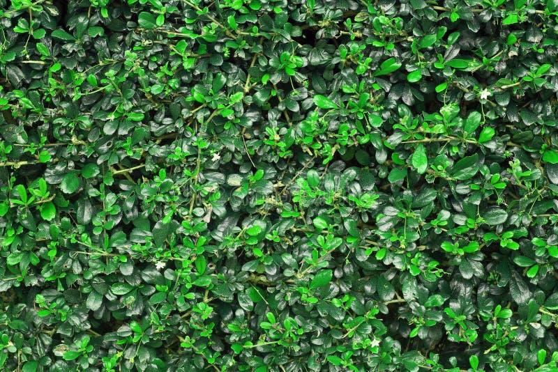 Le vert laisse la texture de mur ou le contexte de la barrière d'arbre image libre de droits