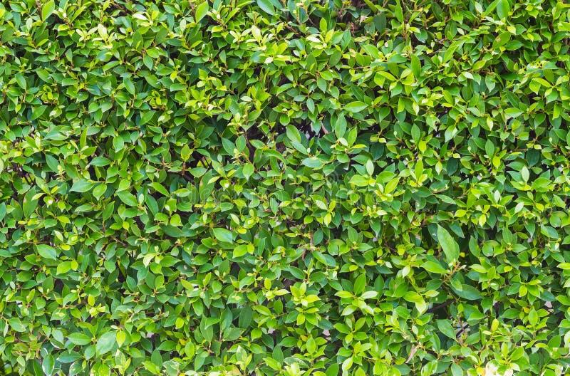 Le vert laisse le sabot de mur photographie stock