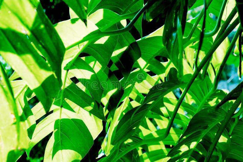 Le vert laisse le mod?le de l'arbre de monstera dans la lumi?re du soleil photo stock