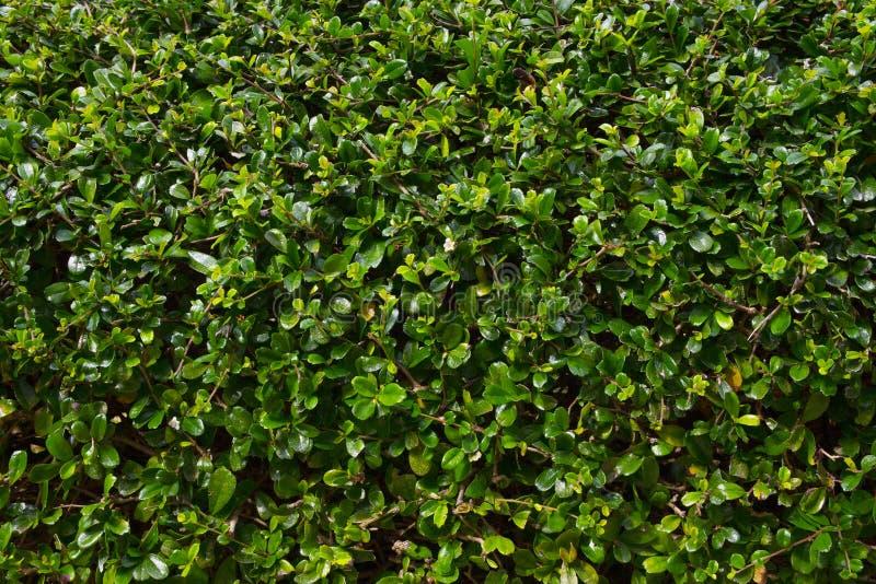 Le vert laisse le religiosa de Wrightia de modèle de haie photo stock