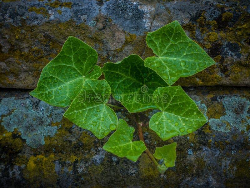 Le vert part après la pluie sur le mur en pierre image libre de droits