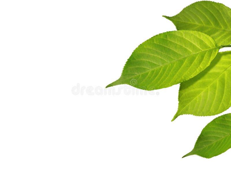 Le vert part au printemps ou été d'isolement sur le blanc images libres de droits