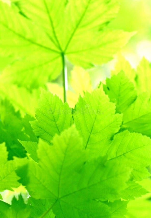 le vert pousse des feuilles érable images libres de droits